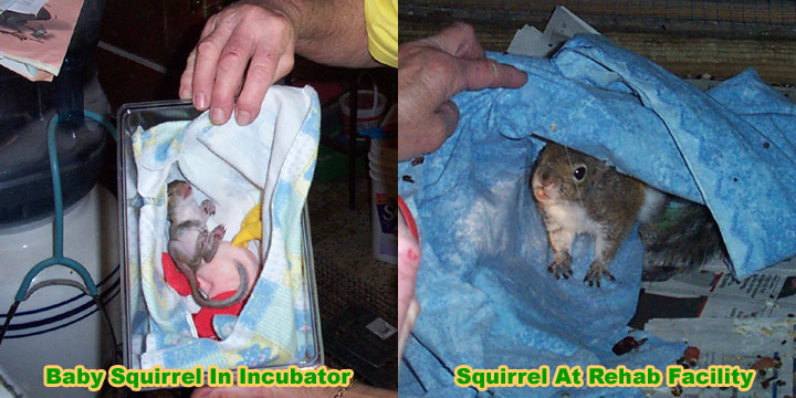 Squirrel Rehabilitator What To Do With A Baby Squirrel I